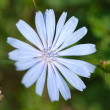 Stock Photo: Cornflower flower