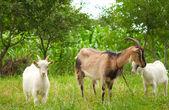 Goats — Stock Photo