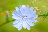 Cornflower blue — Stock Photo