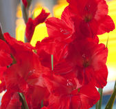 Flower red gladiolus — Stock Photo