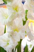 White flowers gladiolus — Fotografia Stock