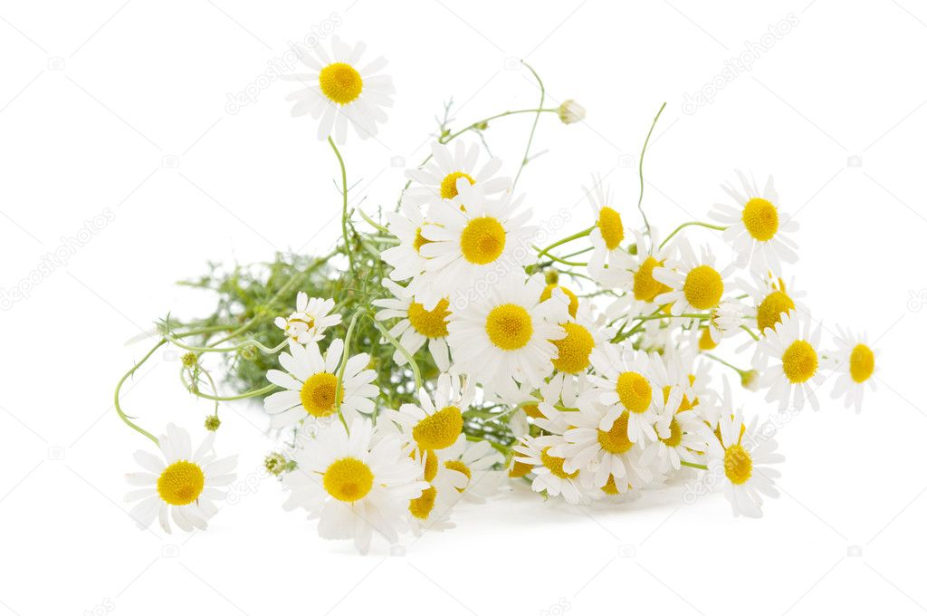 Medical chamomile on white background — Stock Photo #6267724