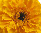 Yellow marigold flower — Stock Photo