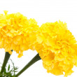 Stock Photo: Yellow marigold flower isolated