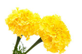 Yellow marigold flower isolated — Stock Photo