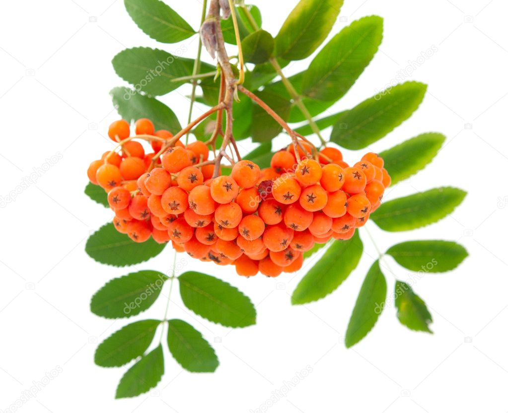 Rowanberry on a white background — Stock Photo #6366543