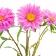 Stock Photo: Pink aster