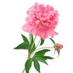 Pink peony — Stock Photo #6454583