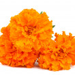 Stockfoto: Marigold flower