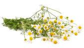 Pharmacy daisy — Stock Photo
