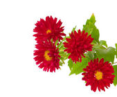Aster red — Stock Photo