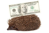 Hedgehog of dollars — Stock Photo