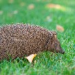 Little hedgehog in the grass — Stock Photo