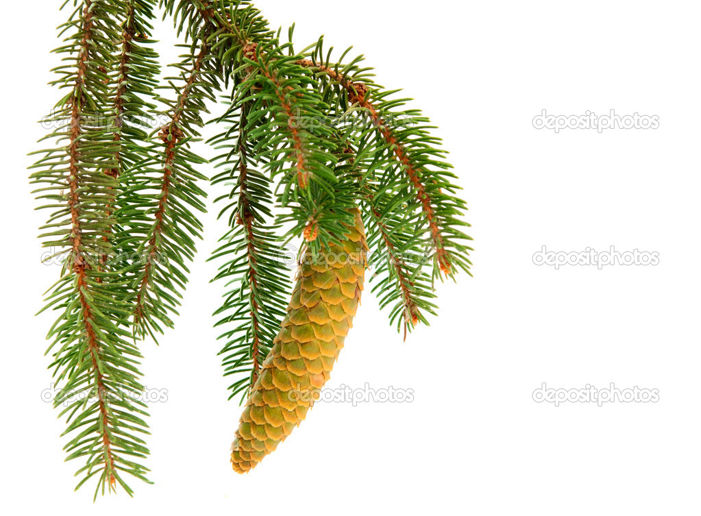 Twig with fir cone on a white background  Stock Photo #6720748