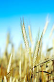 Wheat over blue sky — Stock Photo