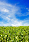 Field of grass and blue sky — Foto Stock
