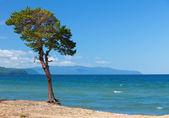 Lake Baikal. Lonely tree ashore — Stock Photo