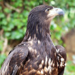 Portrait of eagle — Photo