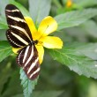 Zebra Longwing butterfly — Stock Photo #6317287