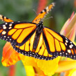 Monarch Butterfly — Foto Stock #6317294
