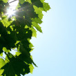 Green leaves and sun — Stock Photo #5931011