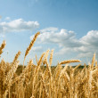 Wheat field — Stock Photo #6106757