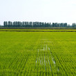 Rice field - Stockfoto