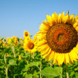 Stock Photo: Sunflower fields