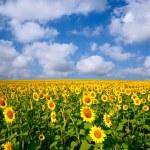 Sunflower fields under blue sky — Stock Photo