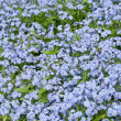 Blue flowers — Stock Photo #5623868