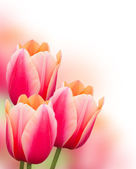 Beautiful pink tulips background — Stock Photo