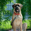 Mastiff — Stock Photo #5877854