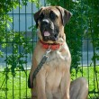 Mastiff — Stock Photo