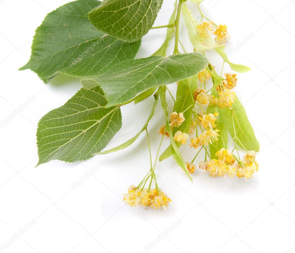 Linden flowers — Stock © nataly0288dp