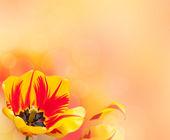 Beautiful tulip background — Stock Photo