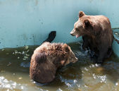 Two brown bears playing in water — Stock Photo