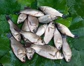 Fisch karauschen — Stockfoto