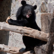 Ussuri black bear — Stock Photo