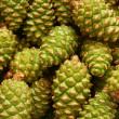 Green pine cones — Stock Photo
