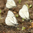 Black-veined white butterflies — Stock Photo