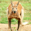 Red Kangaroo looking at camera. — Stock Photo