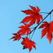 Autumn maple red leaves — Stock Photo