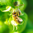 Honey bee — Stockfoto
