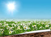 Daisies field with curled page — Stock Photo