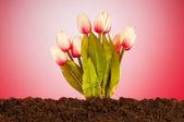 Bunte tulpe blumen wachsen im boden — Stockfoto