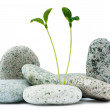 Pebbles and seedlings - alternative medicine concept — Stock Photo