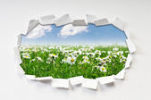 Camomiles field through hole in paper — Stock Photo