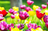 Tulip flowes in the park — Stock Photo