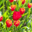 Many tulips in the park — Stock Photo