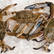 Crabs on ice slices — Stock Photo